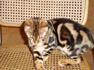 Bengal cats wales